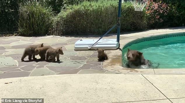 Eric Liang fotografou um urso e quatro filhotes brincando na piscina nos fundos de uma casa em Arcadia, Califórnia, em abril.