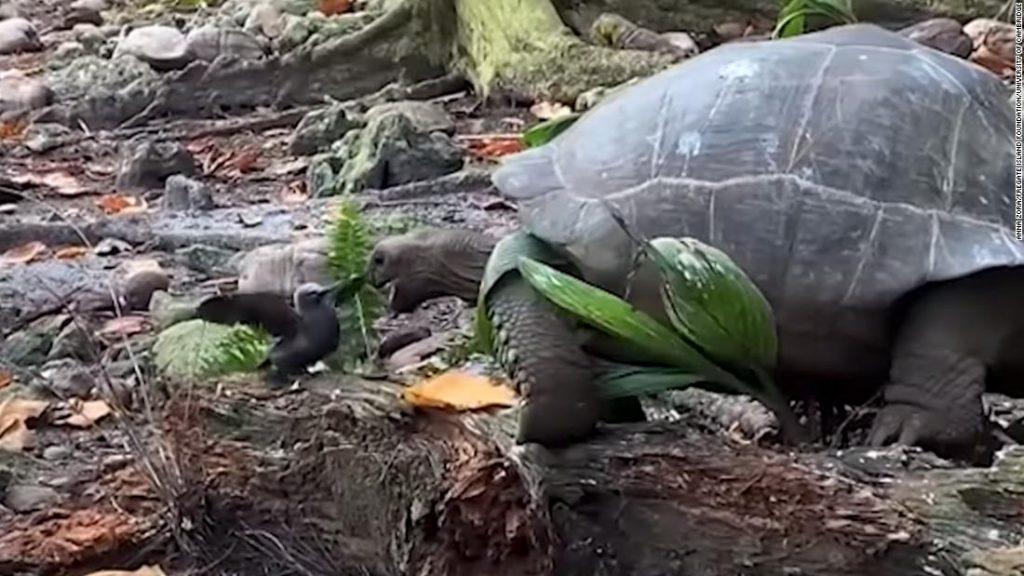 """Uma tartaruga gigante foi vista atacando e comendo pequenos pássaros pela primeira vez na natureza em um acidente """"terrível"""""""