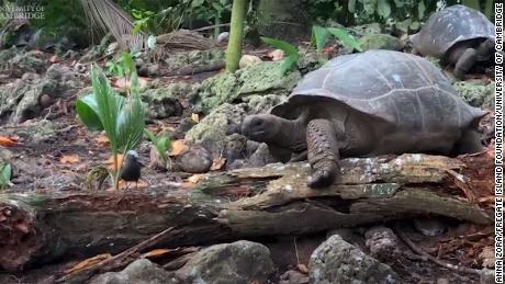 Os pesquisadores capturaram o momento em que uma tartaruga gigante das Seychelles, Aldabrachelys gigantea, atacou e comeu um poleiro.