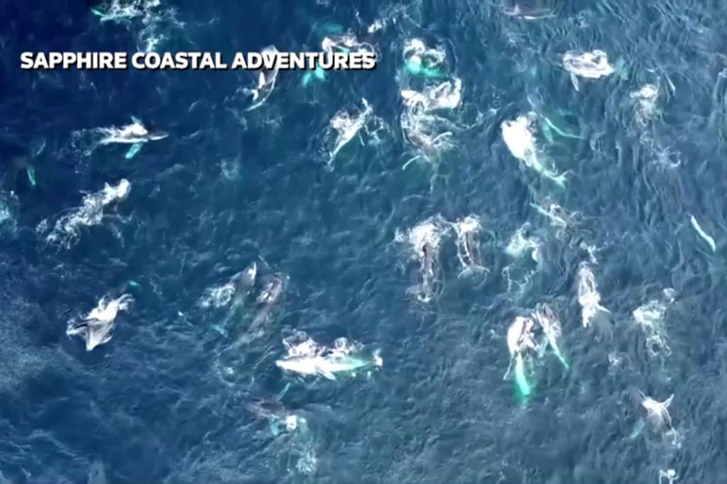 """uma """"mega pod"""" de baleias jubarte se alimentando na costa australiana de New South Wales."""