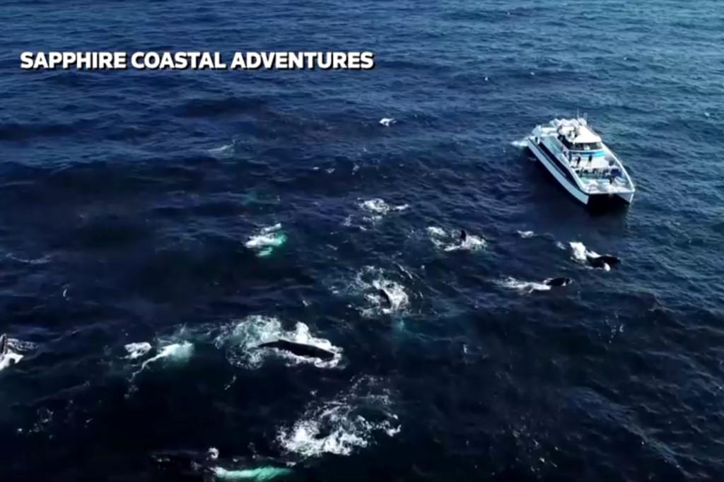 As imagens impressionantes mostram mais de 100 baleias jubarte.